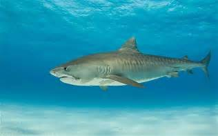 Reunion Island BANS Surfing Due to Shark Attacks   90