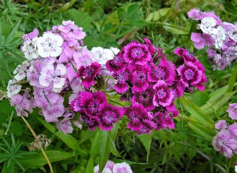 Growing Dianthus Flowers In The Garden - How To Care For