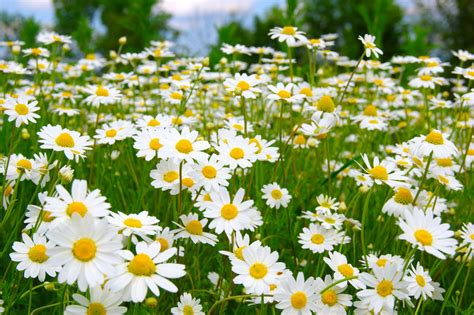 CAMOMILE - Herbfacts
