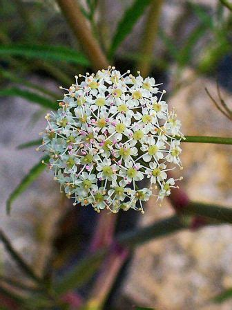 Water Hemlock - One of the Most Poisonous Plants in North