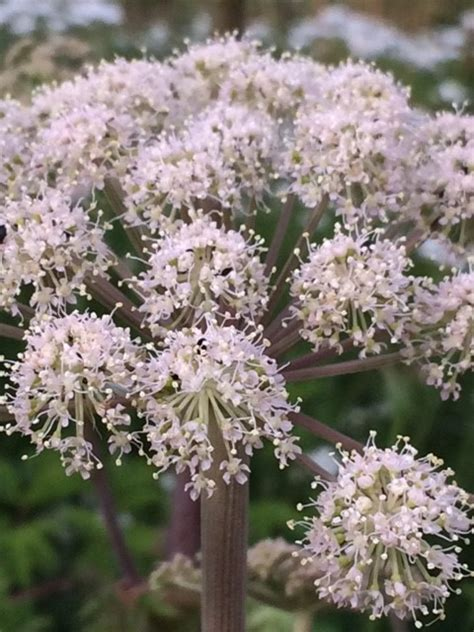 Wild Angelica seed (Angelica sylvestris)   UK Delivery