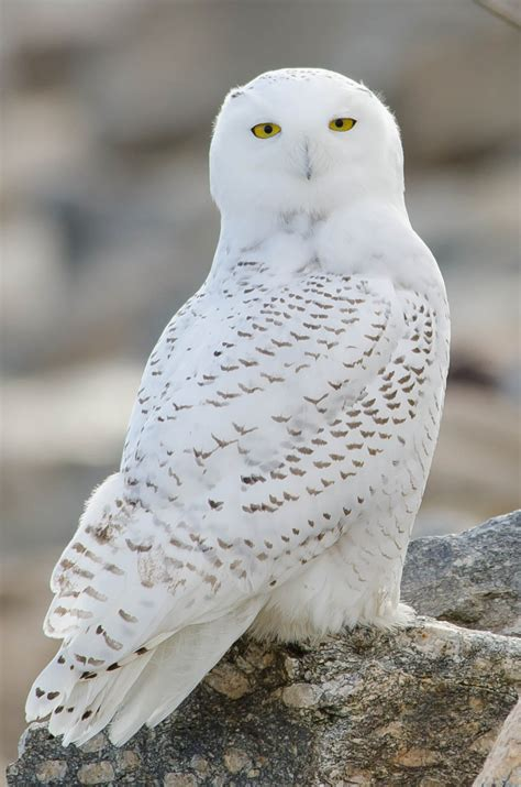 Snowy owl magnificence
