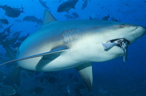 Shark Cull Announced By France Follows Second Fatal Attack
