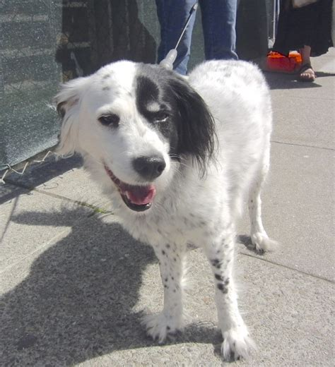 Dog of the Day: Patches the Border Collie/English Springer